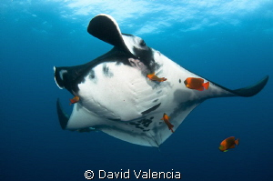 A giant pacific manta stops at a cleaning station. The br... by David Valencia 